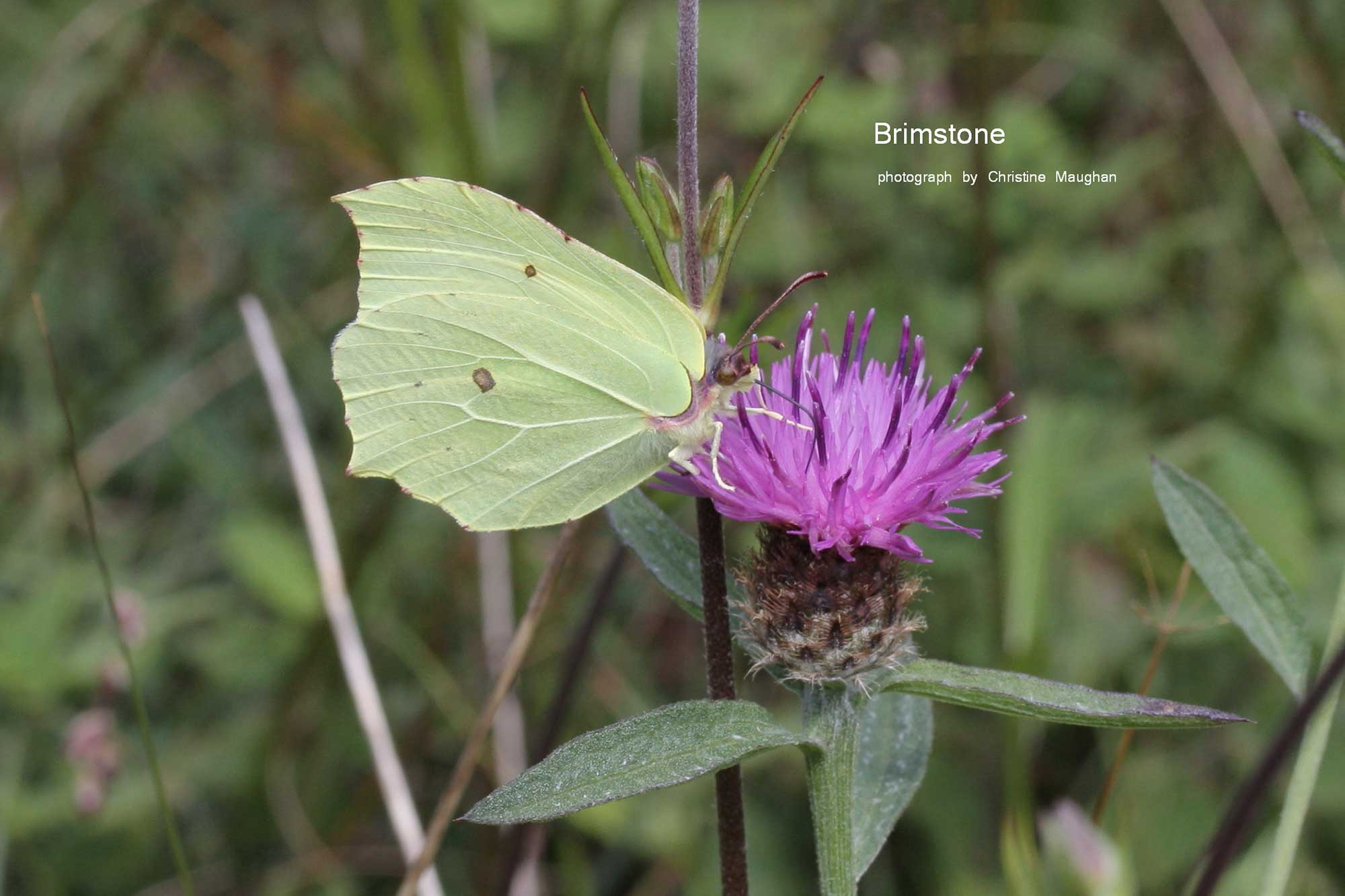 image of Brimstone butterfly