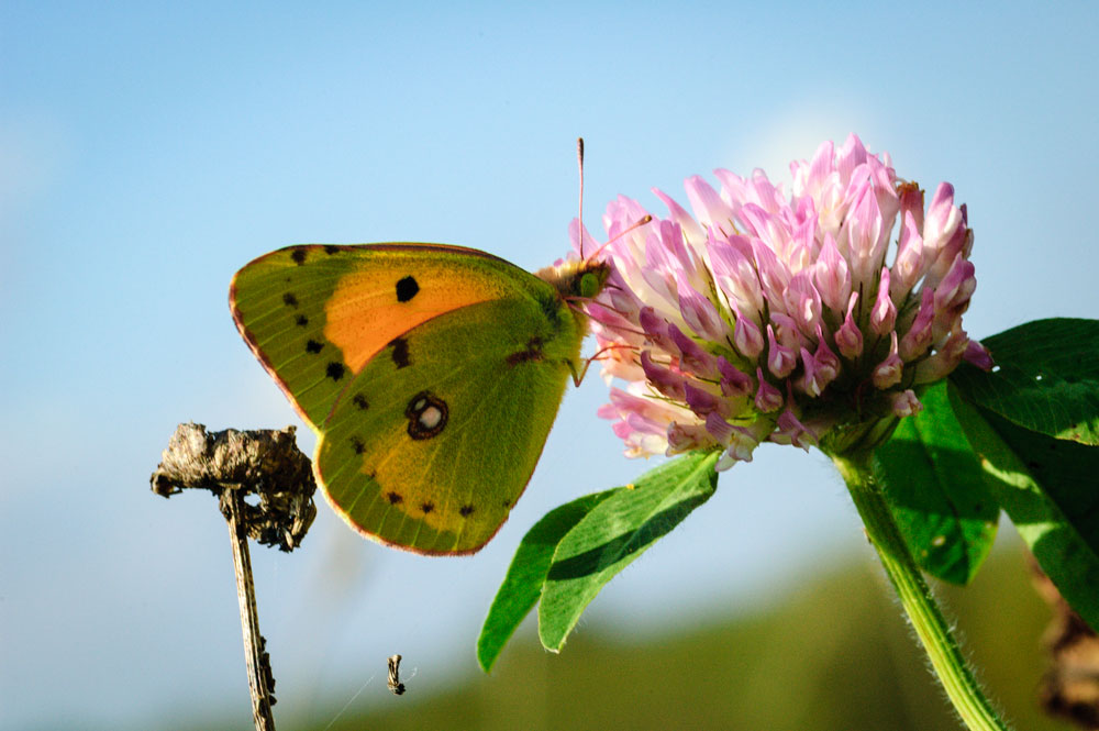 Image of Clouded Yellow