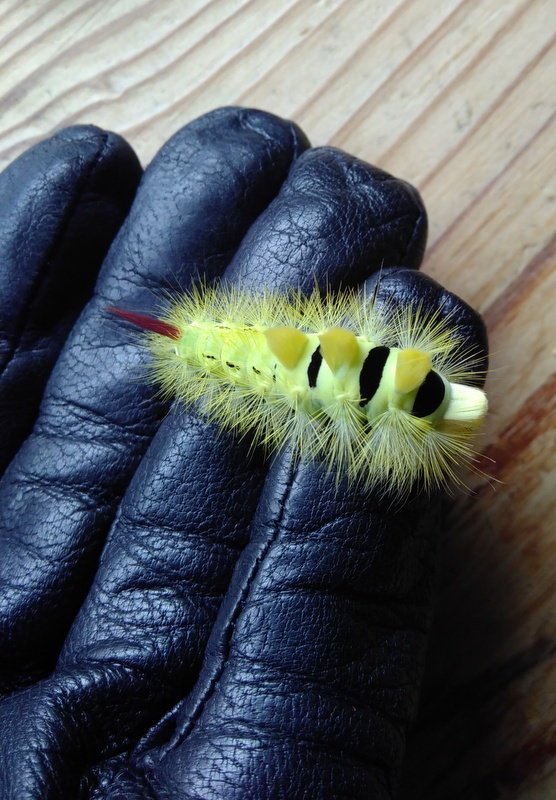 Image of Pale Tussock caterpillar