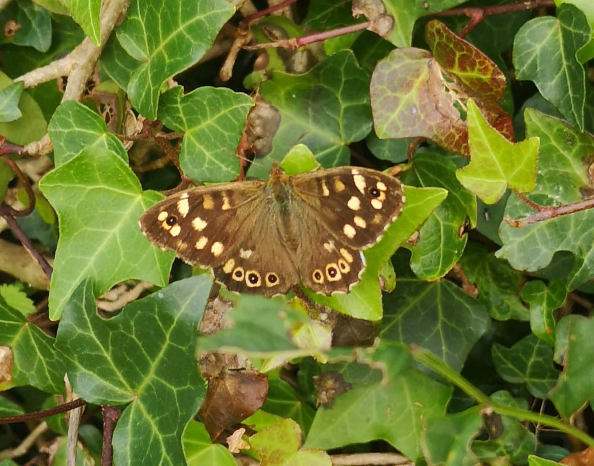Image of Speckled Wood
