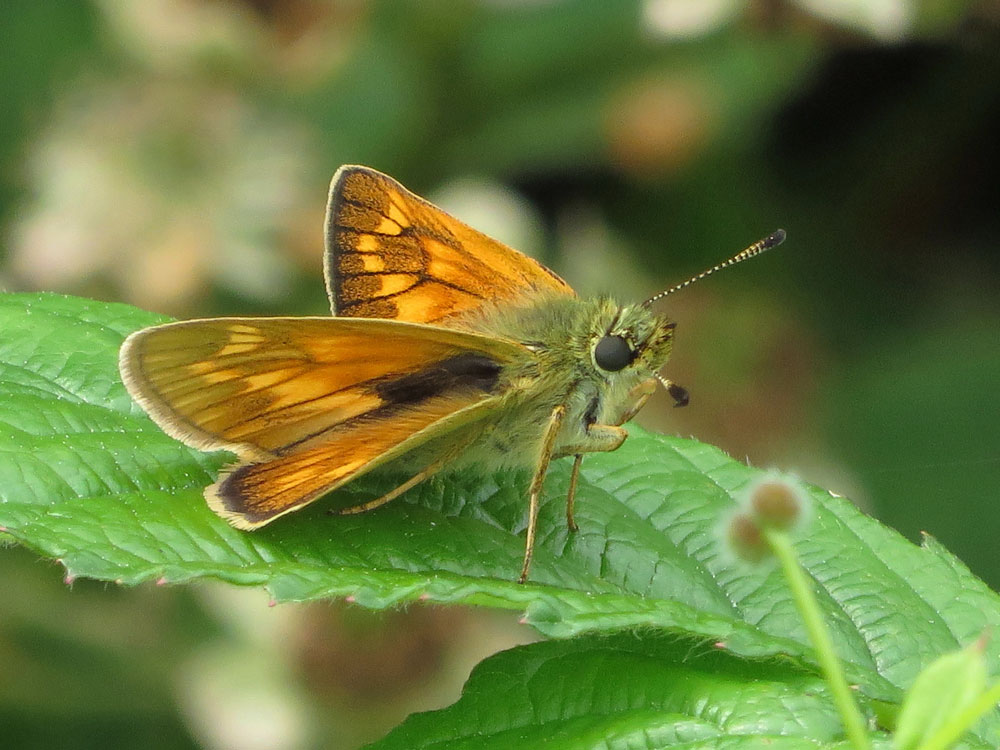 image of Large Skipper