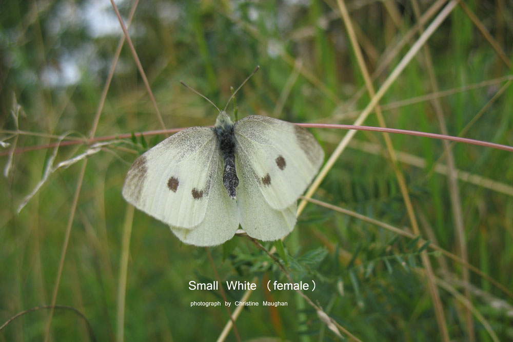 image of Small White