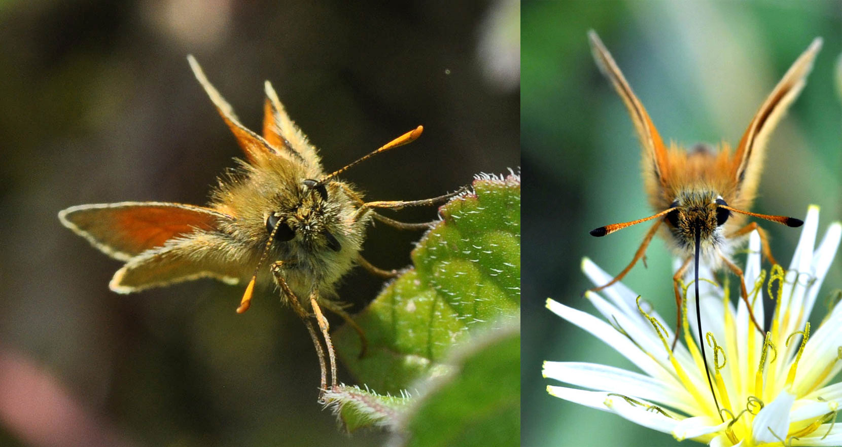 Comparison of Small Skipper and Essex Skipper antennae